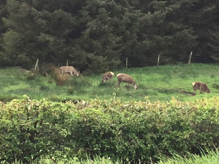 Red Deer in Glen